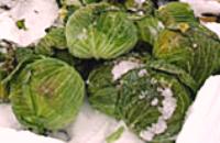 雪の下キャベツ-3.png
