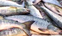 鮭とば-7.png
